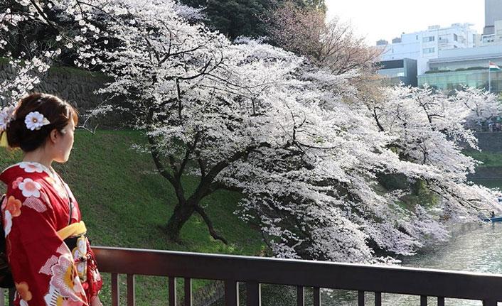 Japonya'da Kovid-19 Hanami kutlamalarına engel olamadı