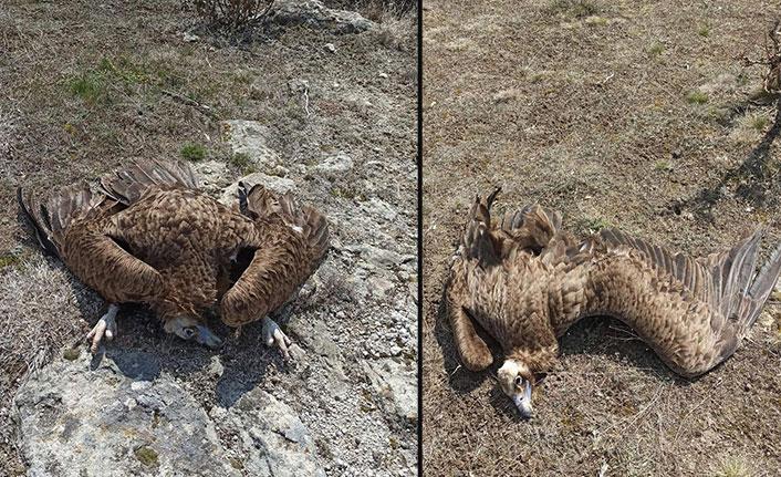 Nesli tehlikede olan kara akbabaları zehirli etle öldürüldü!