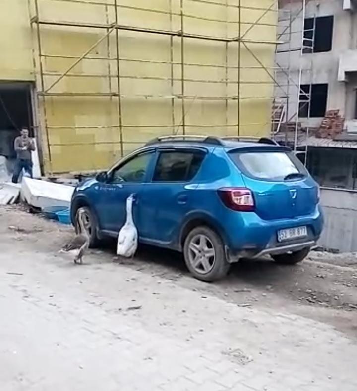 Ordu'da kazlar otomobilin kapısını açmaya çalıştı