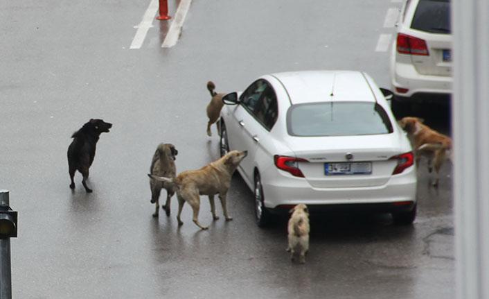Samsun'da aç kalan köpekler araçlara saldırdı