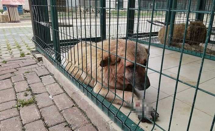 Pitbull sokak köpeğine saldırdı
