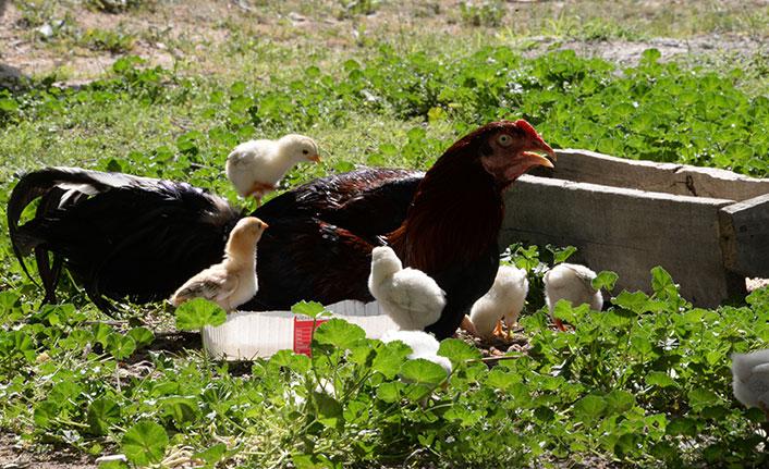 Kuluçkaya yatan horoz civcivlere annelik yapıyor