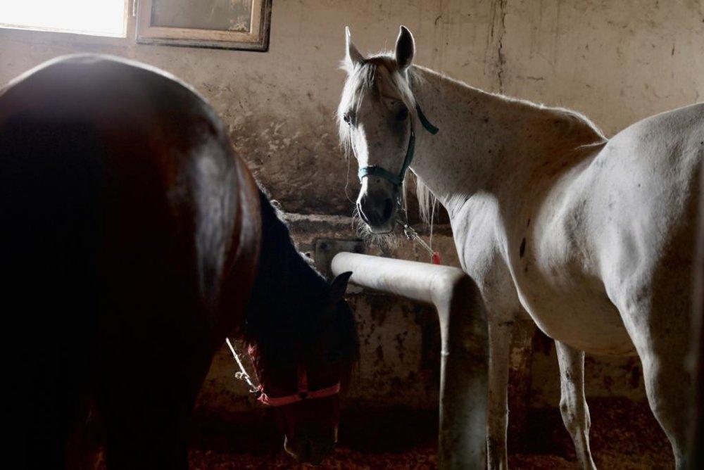 İBB atları Belediye, STK ve Üniversitelere teslim etti