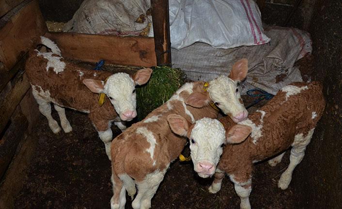 Ordu'da üçüz doğuran inek ilgi odağı oldu