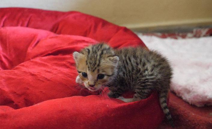 Trabzon'da annesiz kalan yavru kediye Vefa eli uzandı