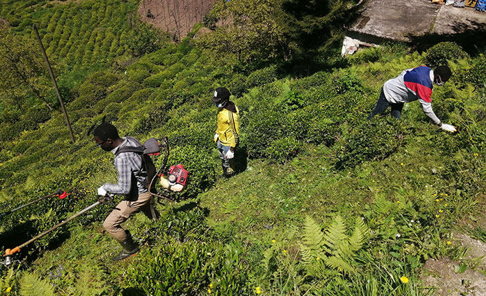Rize'de Gambiyalı çay işçileri iş başı yaptı