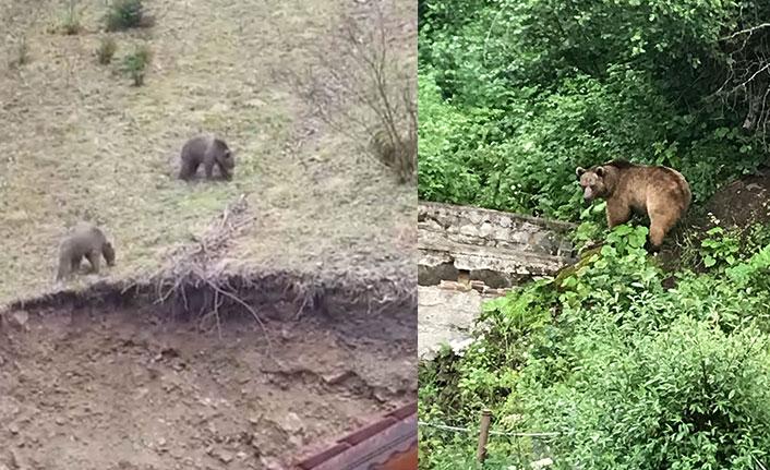 Kış uykusundan uyanan ayılar, Uzungöl'e indi
