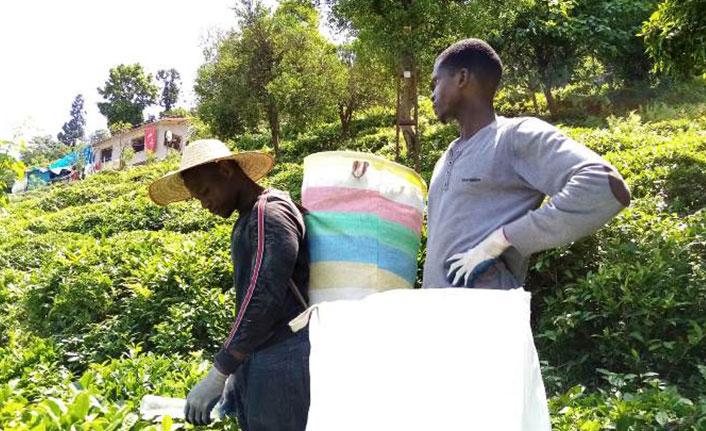 Afrikalı işçiler çay tarımı için Karadeniz'de