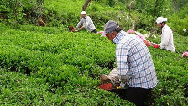 Rize'de yaş çay sezonu açıldı
