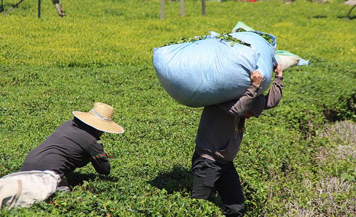 Yaş çay taban fiyatı açıklandı Üretici destek primleri arttırılsın dedi