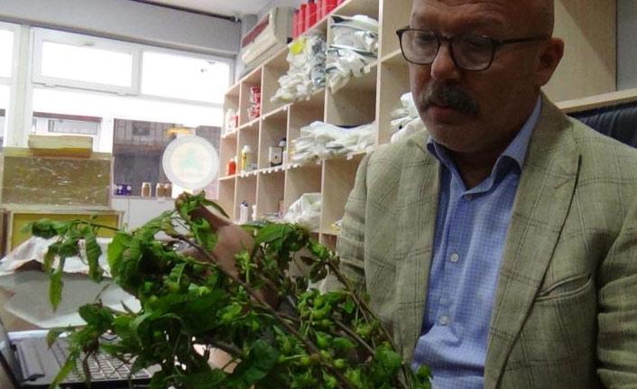 Katil arı Doğu Karadeniz'de de görülmeye başladı