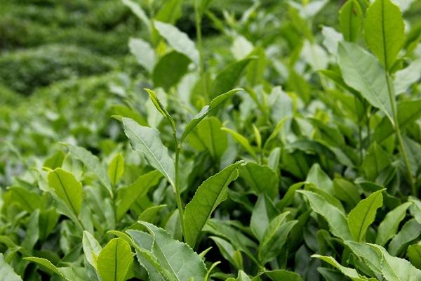 2021 Yaş Çay Kampanyası! Özel sektör kuru çaya da zam yapılmasını bekliyor