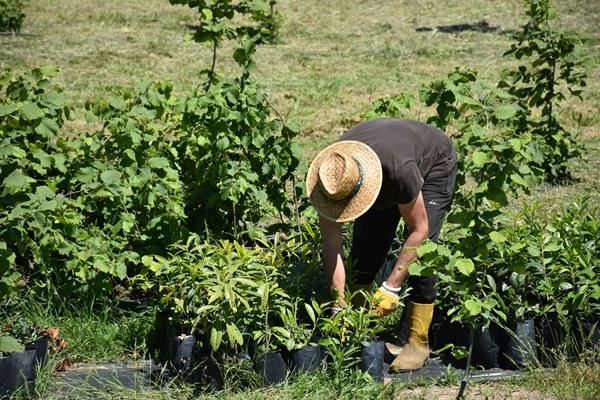 İyileştirme yapılan fındık bahçelerinde verim arttı