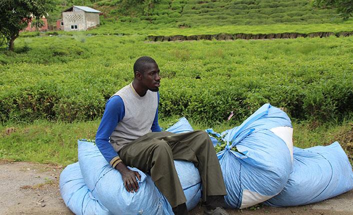 Çay bahçeleri bu yıl da Afrikalı işçilere emanet