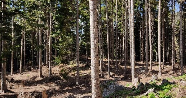 Artvin ormanlarında gençleştirme çalışmaları