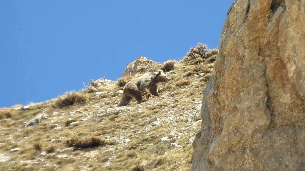 Anne ayının yavrusunu koruma çabası