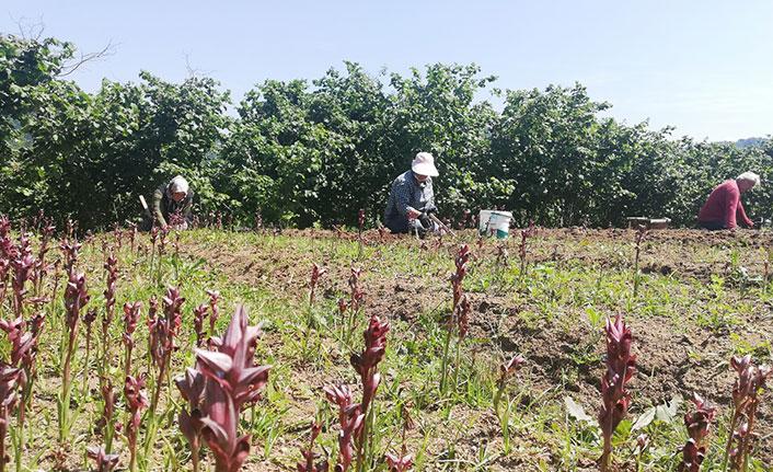 Fındık bahçesinde yetiştirilen salep kilosu 150 liraya satılıyor