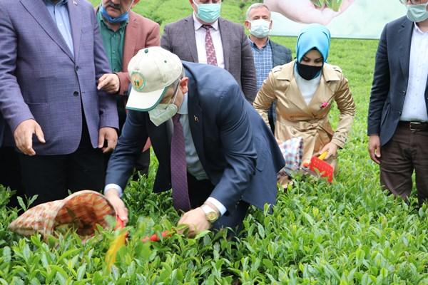 Trabzon'da çay hasadı törenle başladı