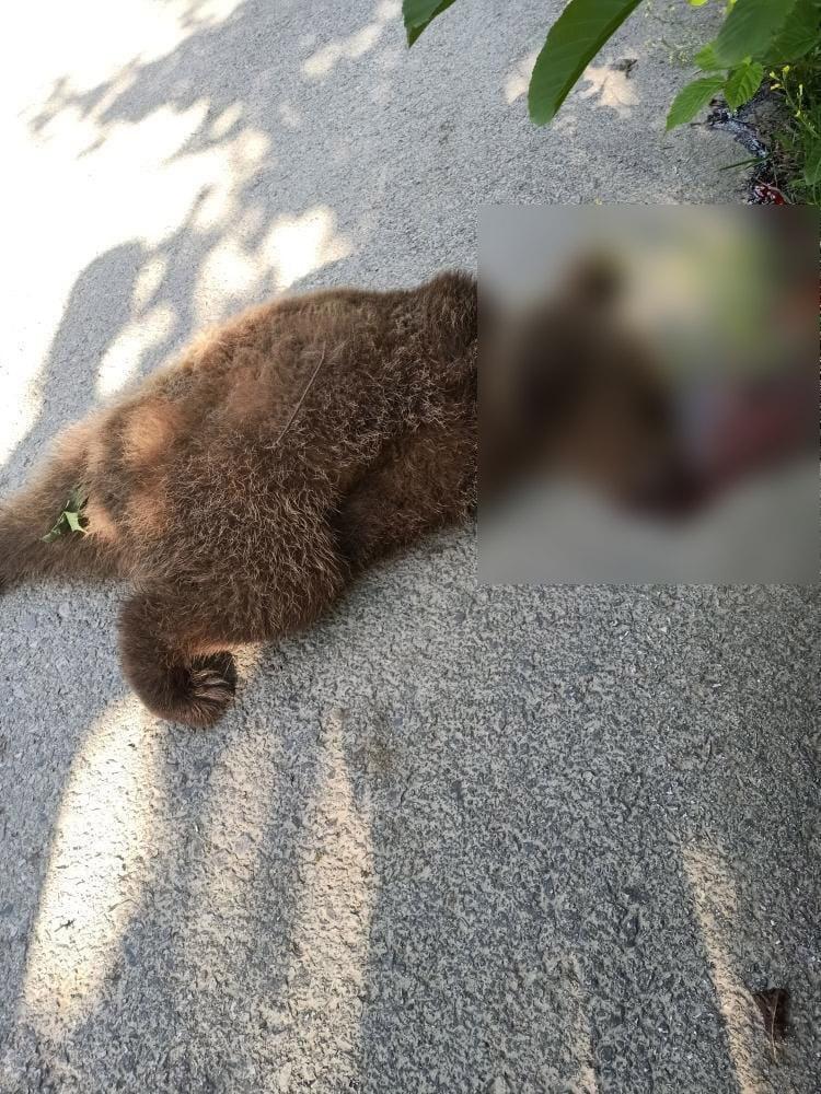 Trabzon'da aracın çarptığı ayı yavrusu telef oldu