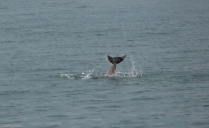 Karadeniz'de yunuslar gösteri yaptı