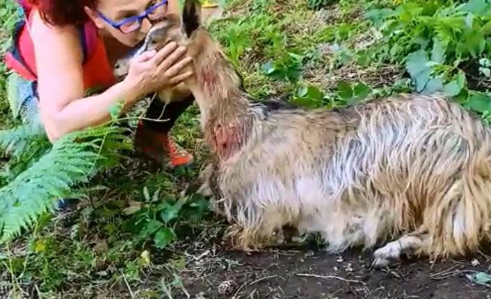 Köpeklerin saldırdığı hamile keçiyi doğaseverler kurtardı