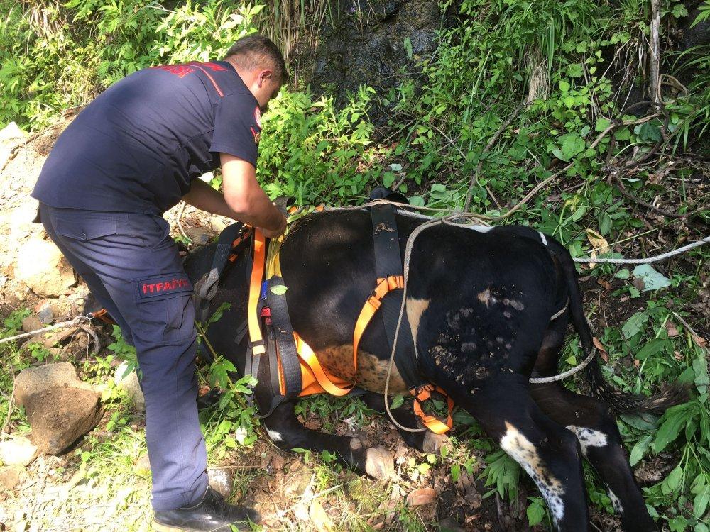 Trabzon'da mahsur kalan inekler için seferberlik
