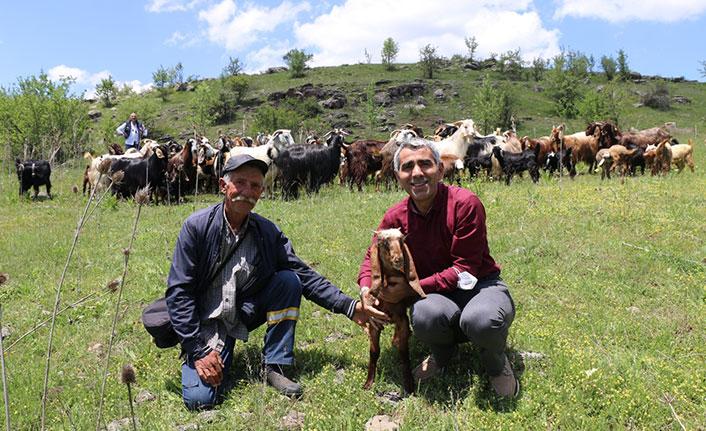 Halep keçileri Karadeniz'e uyum sağladı