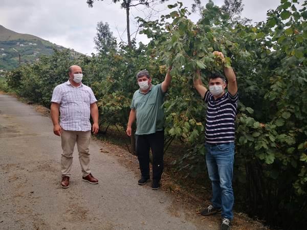 Trabzon'da fındık toplama tarihleri belli oldu