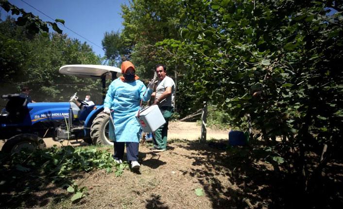 Fındık bahçelerinde aşı mesaisi