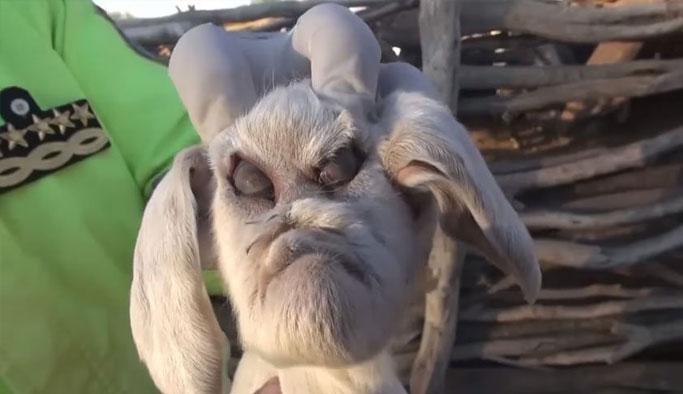 İnsan yüzlü keçi şok etti!