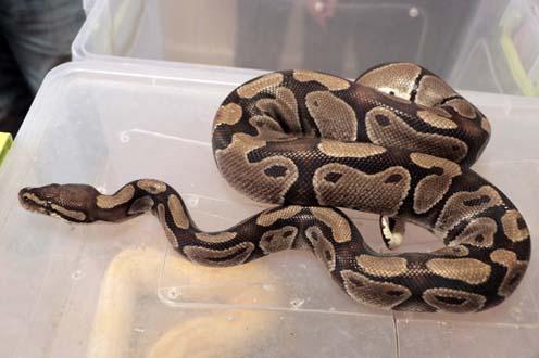 Evden piton ve boa yılanı çıktı!