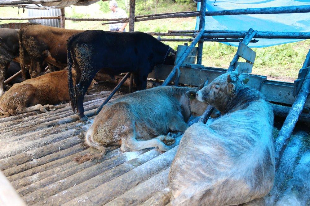 Cerattepe'de 11 hayvan zehirlendi