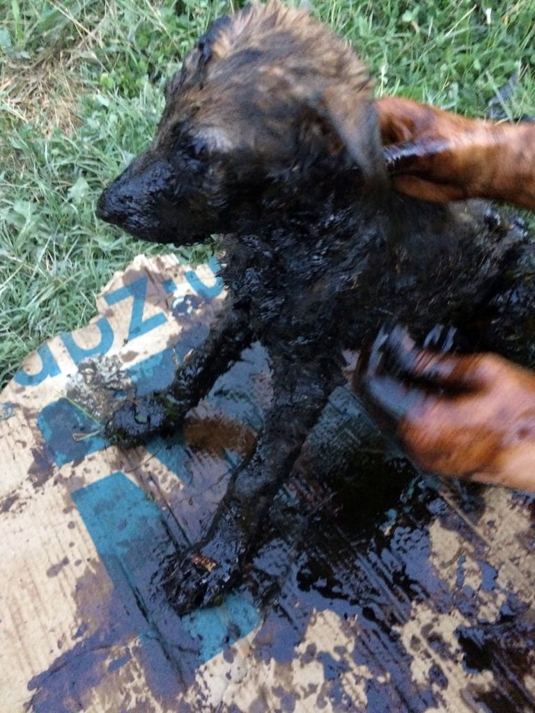 Zifte bulanan yavru köpeklere zorlu operasyon
