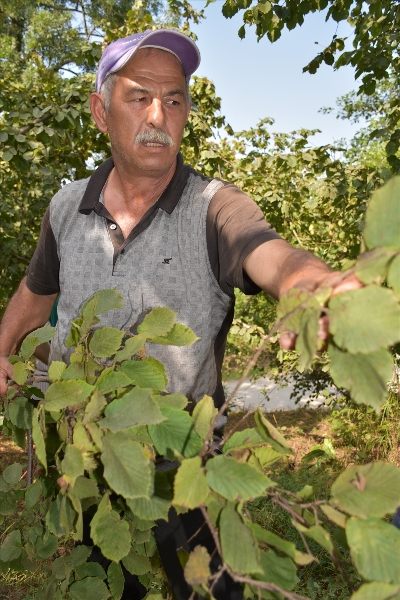 Trabzon'da fındık hasadı başladı
