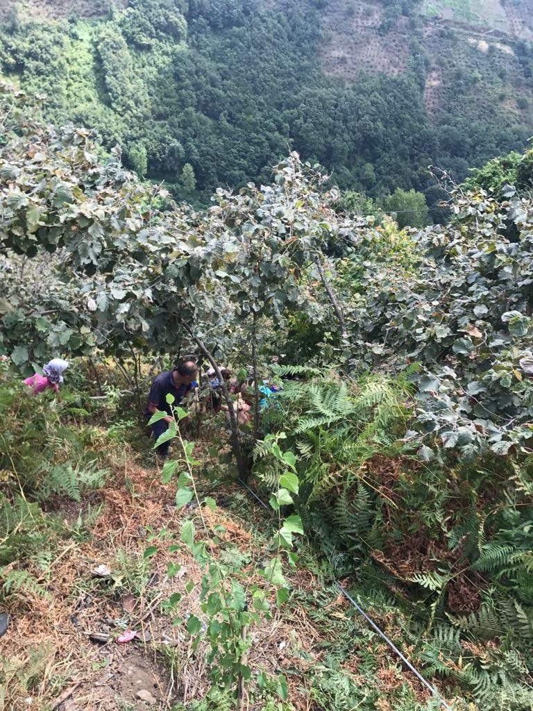 Trabzon'da inek uçurumdan düştü