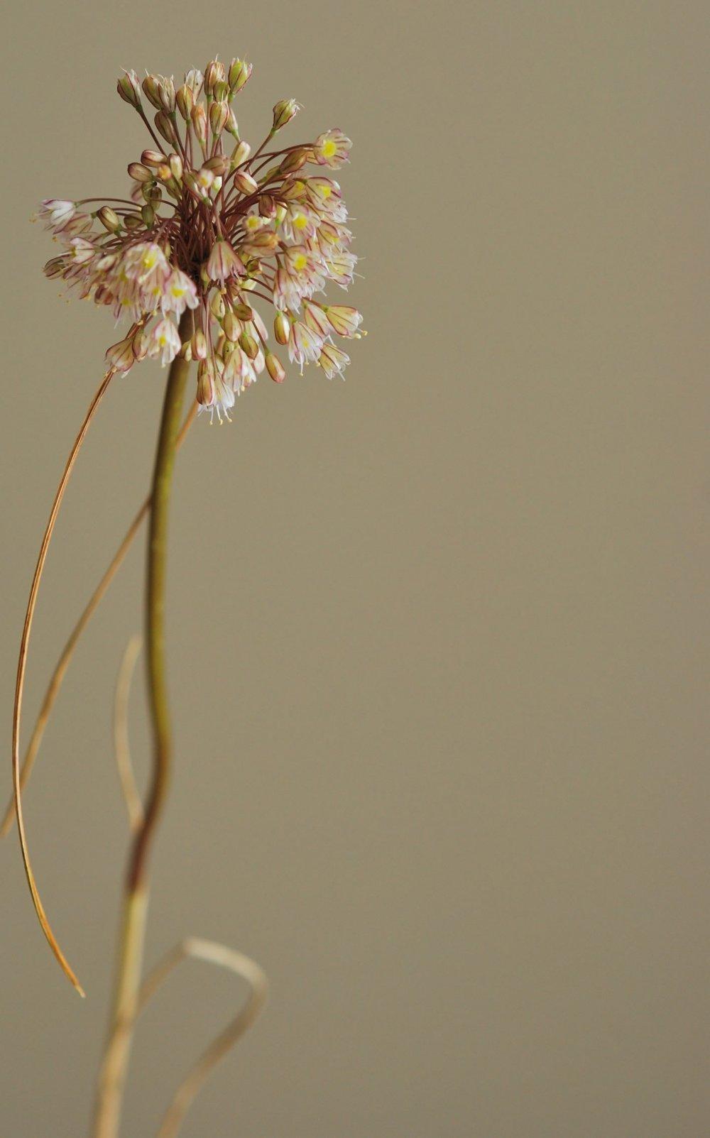 İstanbul'da önemli keşif: Allium İstanbulenese