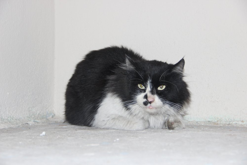 Patisine iplik bağlanan kedi ayağını kaybetti