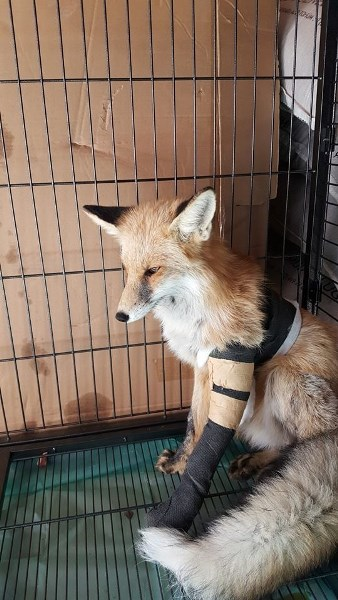Ayağına plaka takılan tilki özgürlüğe koştu