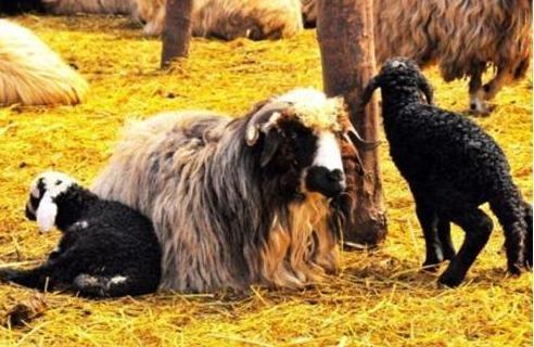 Of, Artlı ve Çepni koyunlarının genetiği araştırılacak