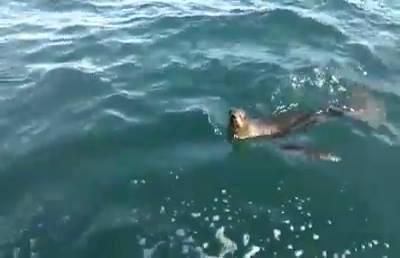 Karadeniz'de şaşırtan misafir: Fok balığı görüldü