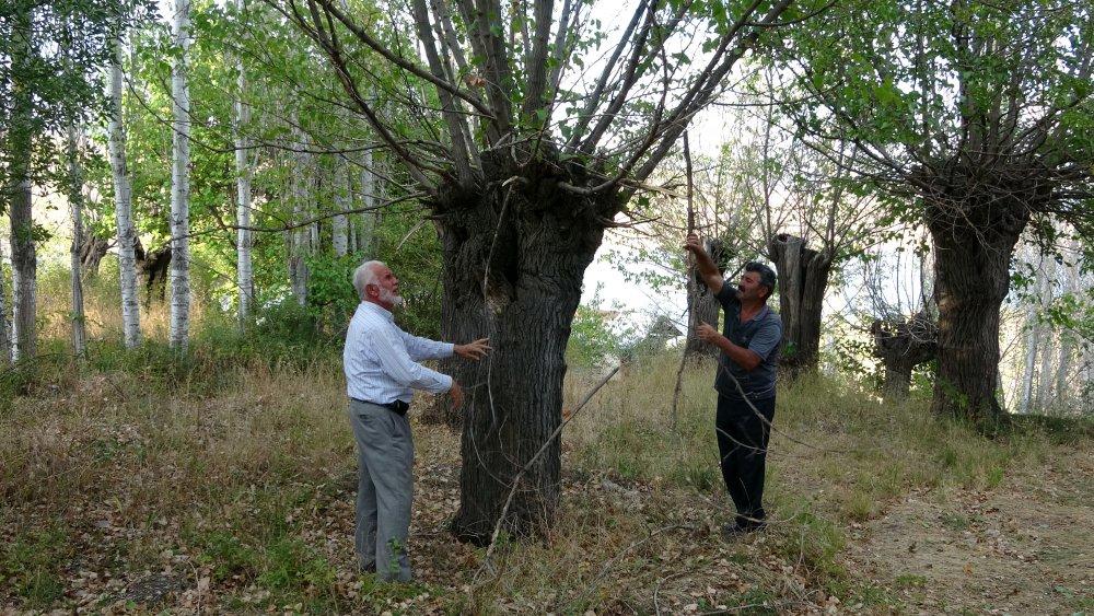 Giresun'un Şebinkarahisar ilçesinde bulunan 300 yıllık dut ağaçları kuruyor.