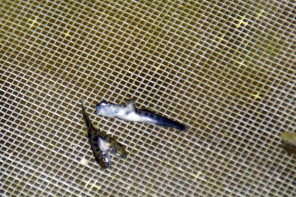 Rize'de çift başlı balıklar herkesi şaşırttı