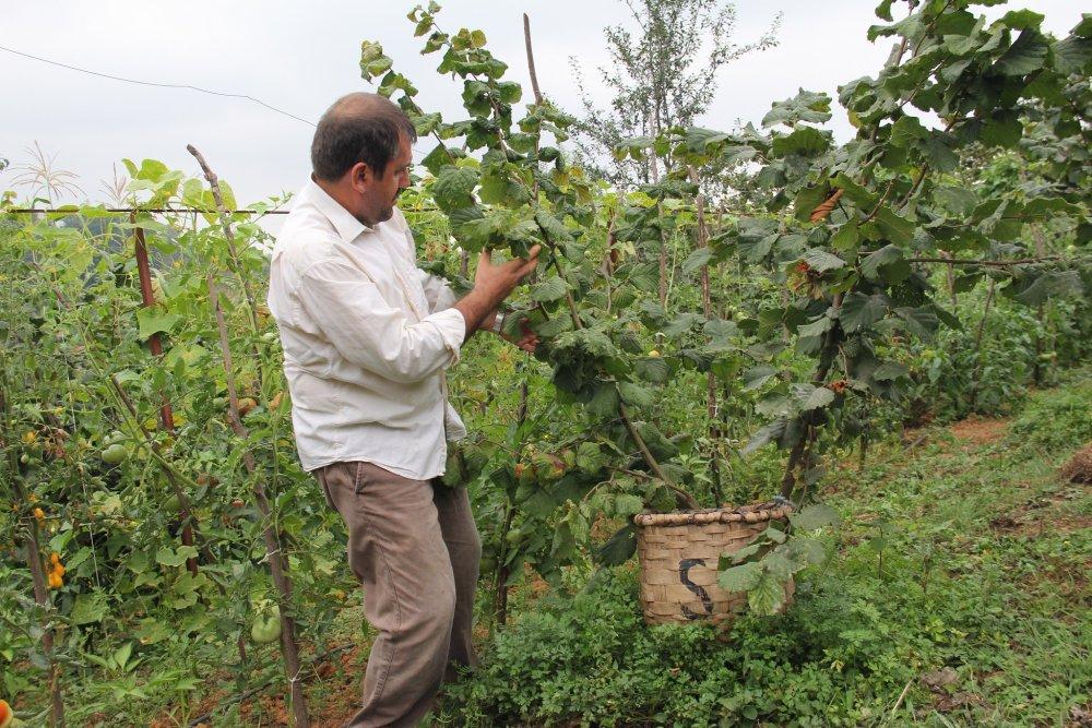 Trabzon'da aşılı fındık hasadı yapıldı