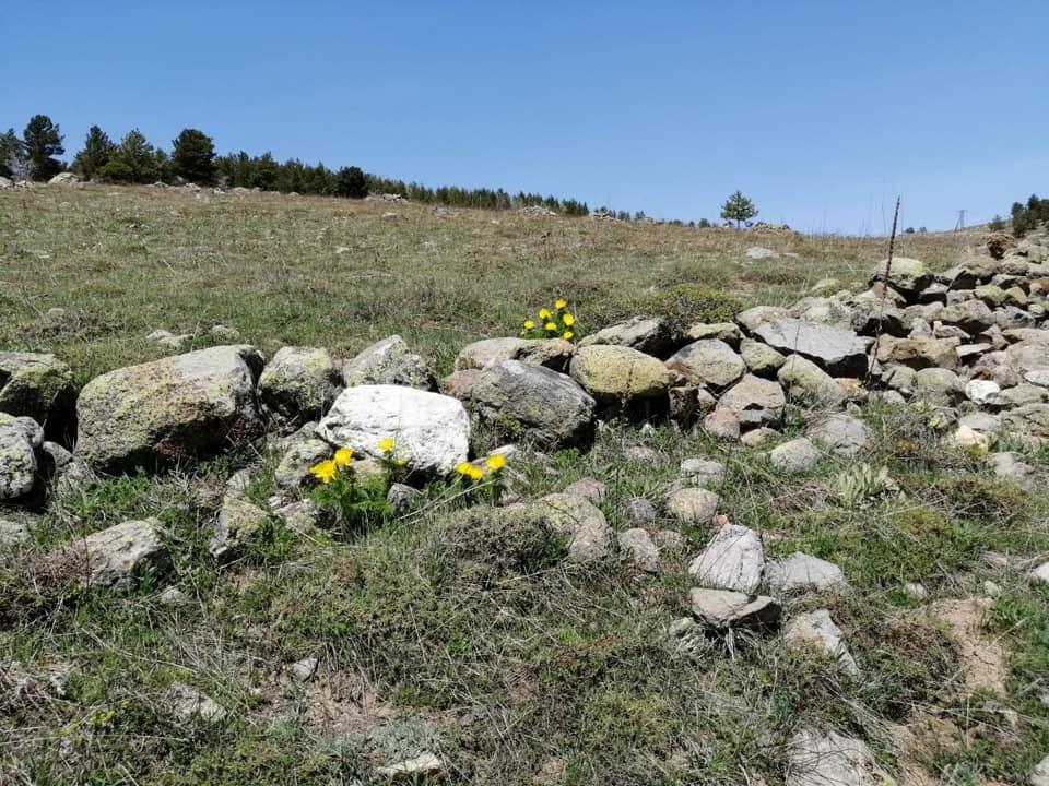 Giresun'da 150 yıl sonra rastlanmıştı! Sarı dağ Gülü yüzünü gösterdi