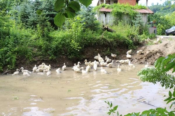 Ordu'da Pekin ördeği yetiştiriciliği başladı