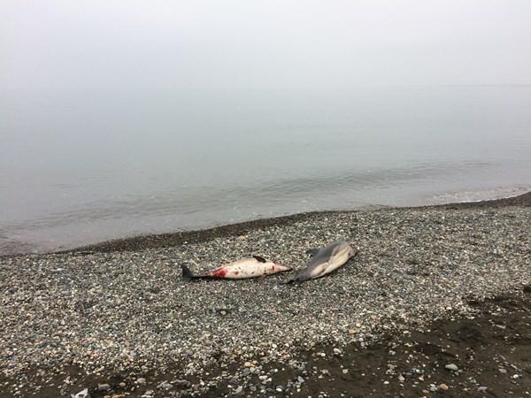 Karadeniz boyunca yunuslar ölüyor