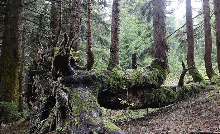 Gövdesinden 18 ağaç yetişen 300 yıllık ağaca ziyaretler başlayacak
