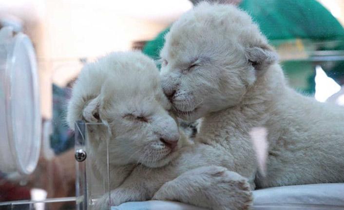 Nadir görülen iki beyaz aslan dünyaya geldi