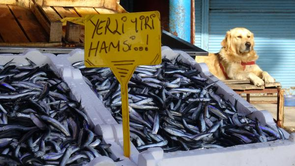 Oscar balık tezhahına gelen kedileri kovalıyor