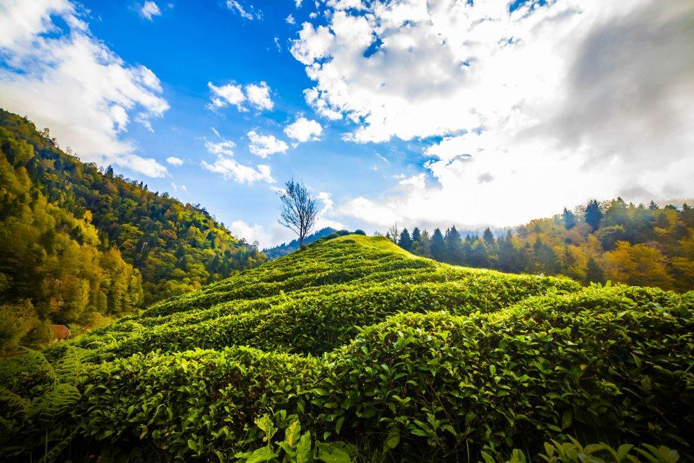 Doğu Karadeniz'de organik çay tarım alanları artıyor